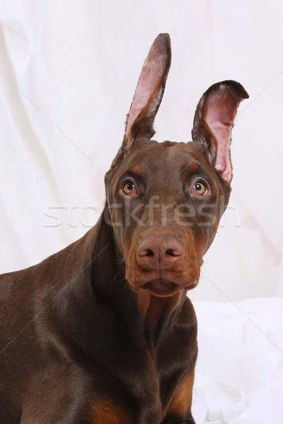 Portrait of a chocolate Doberman Stock photo © goroshnikova