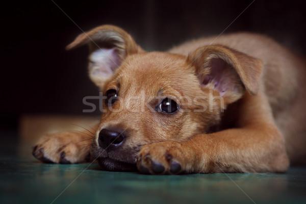 Kırmızı köpek yavrusu barınak kafa zemin Stok fotoğraf © goroshnikova