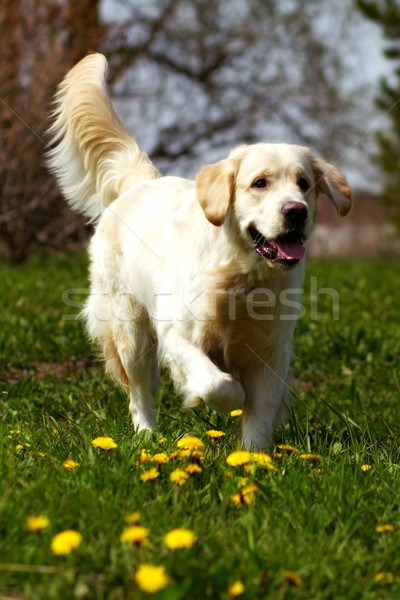 Foto d'archivio: Felice · cane · golden · retriever · jogger · estate · natura