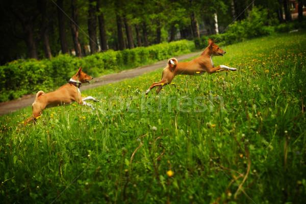 Twee honden ras gelukkig lopen rond Stockfoto © goroshnikova