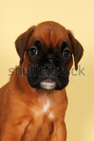 赤 ボクサー 子犬 クローズアップ 肖像 ストックフォト © goroshnikova