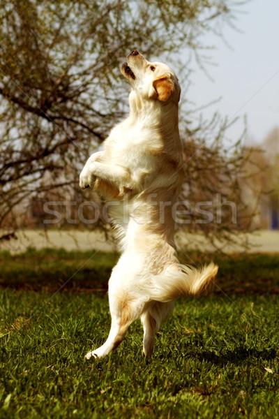 Komik golden retriever köpek oynama atlama yaz Stok fotoğraf © goroshnikova