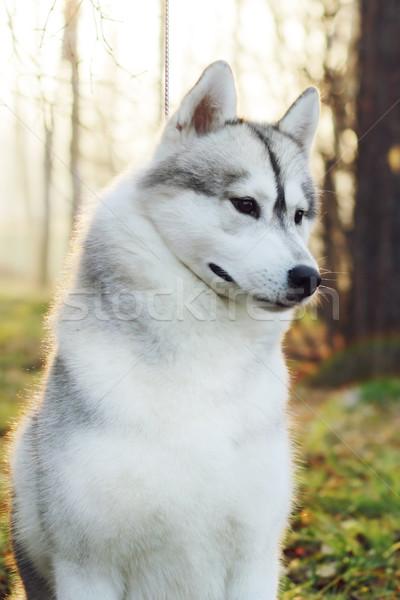 Bella cane husky guinzaglio show primo piano Foto d'archivio © goroshnikova