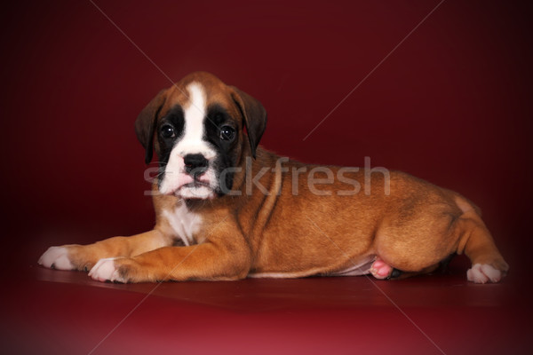 Cute puppy of breed boxer with white paws and muzzle lies Stock photo © goroshnikova