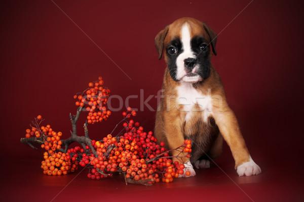 Cute red puppy boxer sitting next to a sprig of mountain ash Stock photo © goroshnikova