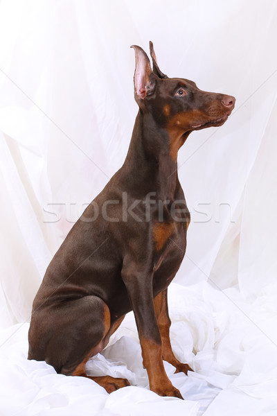 Chocolate Doberman sits sideways Stock photo © goroshnikova