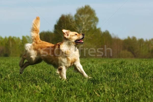 Mutlu köpek golden retriever yeşil ot çalışma çalıştırmak Stok fotoğraf © goroshnikova