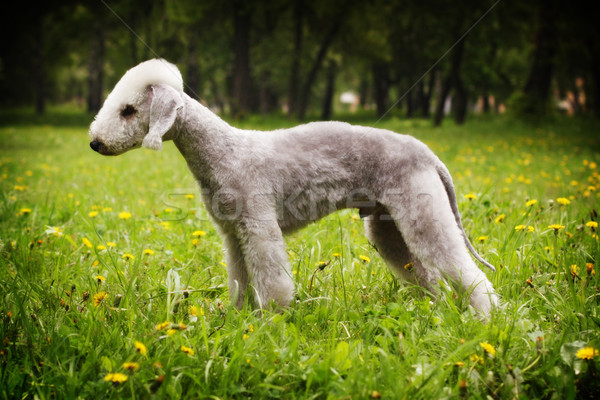 Stock photo: Dog Bedlington Terrier standing in show position in the summer