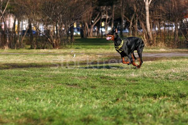black dog Doberman Pinscher running Stock photo © goroshnikova