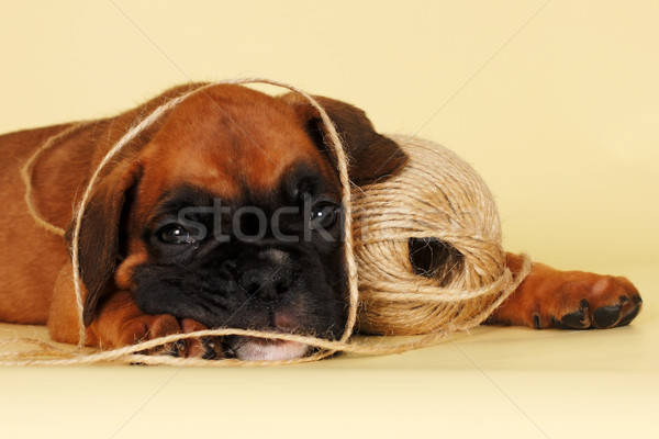 red puppy breed boxer gets tangled in the rope Stock photo © goroshnikova