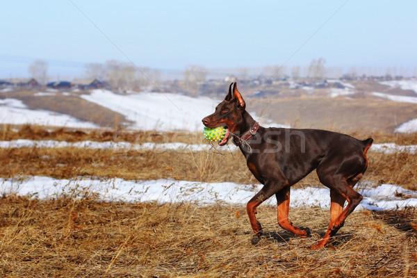 Bruin doberman hond spelen bal bruine hond Stockfoto © goroshnikova