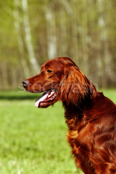 Stock photo: Beautiful dog Irish setter in summer