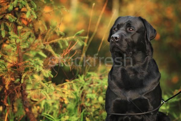 Schwarz schönen Sitzung Herbst Stock foto © goroshnikova