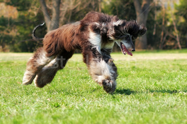 dog Afghan hound to jump Stock photo © goroshnikova
