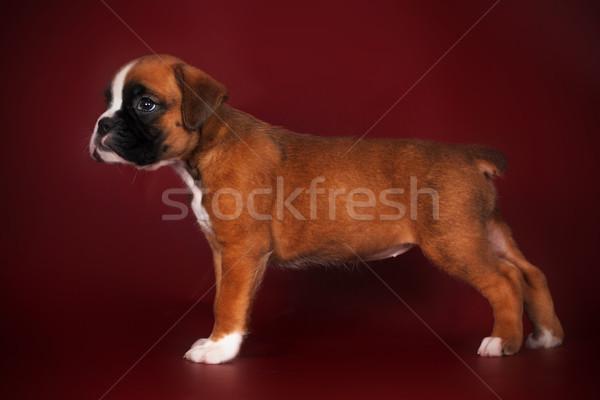 Vermelho boxeador cachorro em pé mostrar Foto stock © goroshnikova