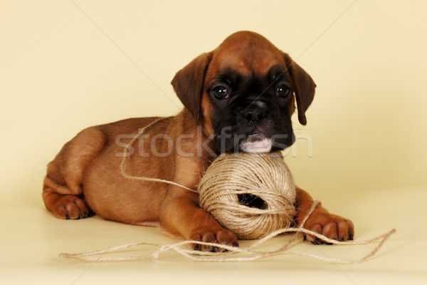 Beautiful red puppy boxer laid his head on a ball of yarn Stock photo © goroshnikova