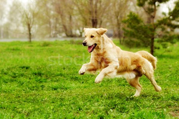 Belle heureux chien golden retriever courir autour Photo stock © goroshnikova