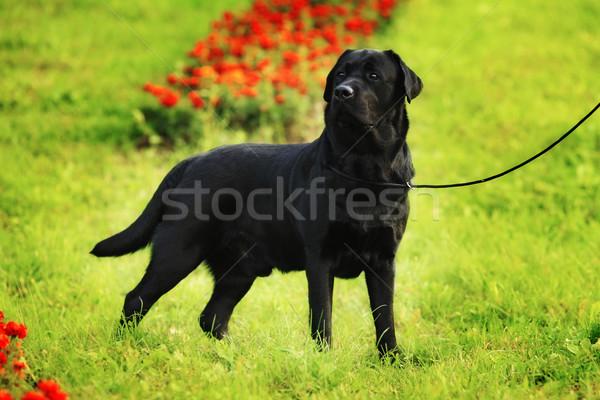 Zwarte labrador retriever permanente hond show Stockfoto © goroshnikova