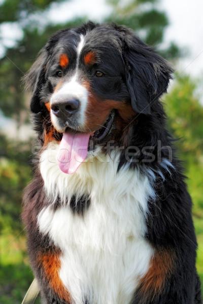 Felice bovaro del bernese sorridere estate natura faccia Foto d'archivio © goroshnikova