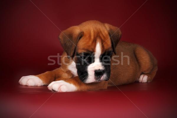 Vörös hajú nő aranyos kutyakölyök fajta boxoló fehér Stock fotó © goroshnikova