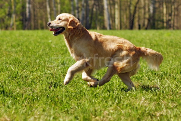 happy dog Golden Retriever runs Stock photo © goroshnikova