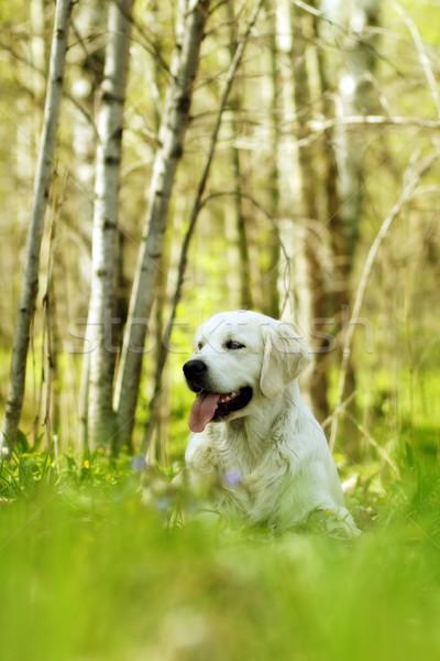 счастливым собака Золотистый ретривер лесу портрет смешные Сток-фото © goroshnikova