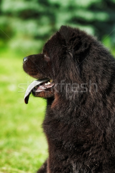 Beautiful fluffy black dog, Chow Chow summer outdoors Stock photo © goroshnikova