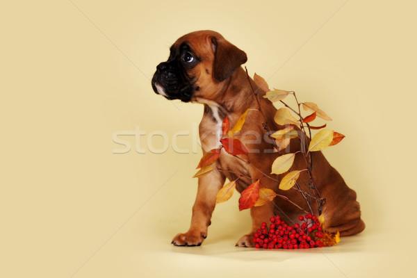 かわいい 子犬 ボクサー ルックス 悲しい サイド ストックフォト © goroshnikova