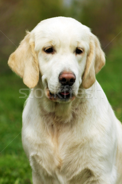 Beautiful happy dog Golden Retriever in the summer outdoors Stock photo © goroshnikova
