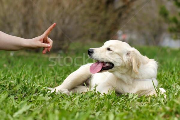Formazione cucciolo golden retriever mano ritratto divertente Foto d'archivio © goroshnikova