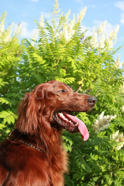 Portrait of the Irish setter Stock photo © goroshnikova