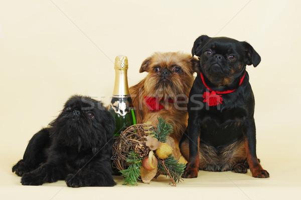 group of Griffon Bruxellois dogs  Stock photo © goroshnikova