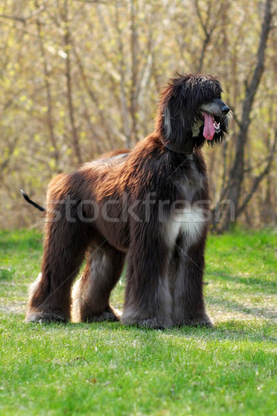 dog breed Afghan Hound stands Stock photo © goroshnikova