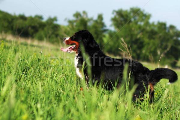 Szczęśliwy piękna berneński pies pasterski lata odkryty wysoki Zdjęcia stock © goroshnikova