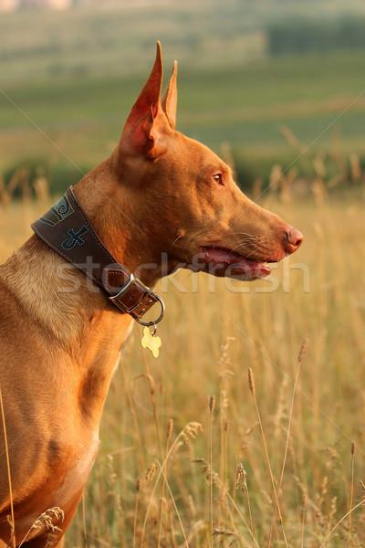 Portrait of dog breed Pharaoh hound in profile Stock photo © goroshnikova