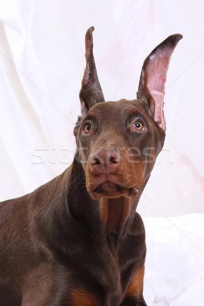 портрет шоколадом доберман коричневый щенков испуганный Сток-фото © goroshnikova