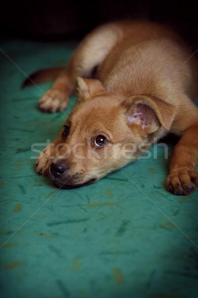 Rood puppy onderdak omhoog triest Stockfoto © goroshnikova