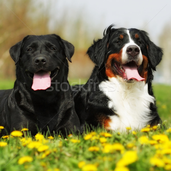 two happy dogs lie in the summer outdoors Stock photo © goroshnikova