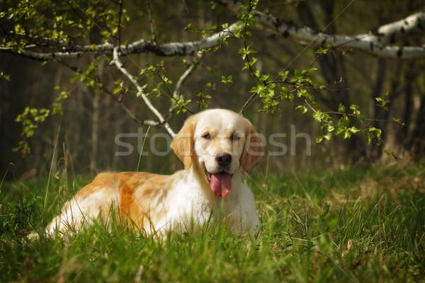 ゴールデンレトリバー 犬 ツリー 夏 綱 自然 ストックフォト © goroshnikova