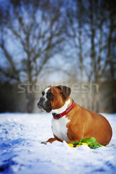 Intelligente cane rosso boxer bugie inverno Foto d'archivio © goroshnikova