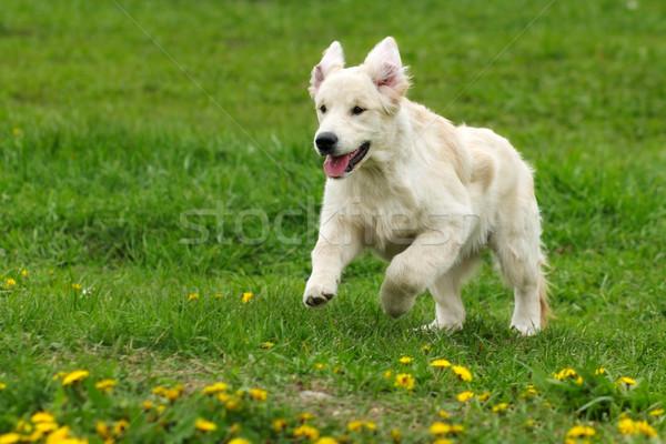 Pequeno engraçado cachorro cães golden retriever verão Foto stock © goroshnikova