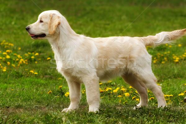 パーフェクト 展示 スタンド 子犬 ゴールデンレトリバー 犬 ストックフォト © goroshnikova