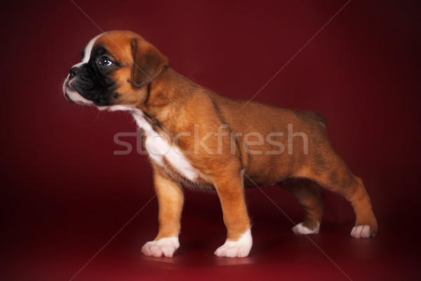 Stock photo: Purebred red boxer puppy standing