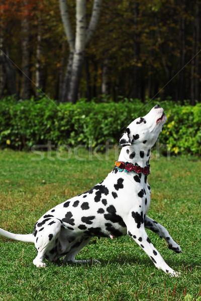 Cão dálmata parque comprometido treinamento comando Foto stock © goroshnikova