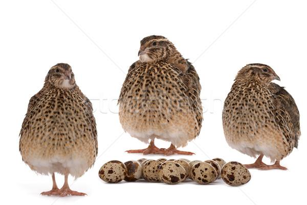 Quail eggs Stock photo © Goruppa