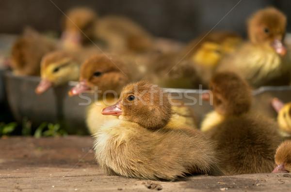 Musk duck ducklings Stock photo © Goruppa