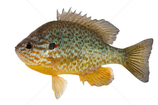 Sunfish Stock photo © Goruppa