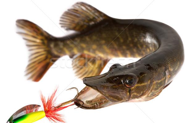Grande predador água doce comida peixe Foto stock © Goruppa