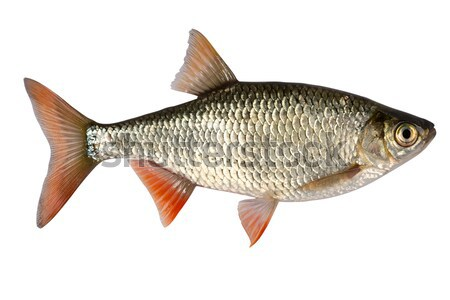 Photo stock: Eau · douce · poissons · Asie · Europe · échelle