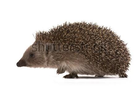 Hedgehog Stock photo © Goruppa